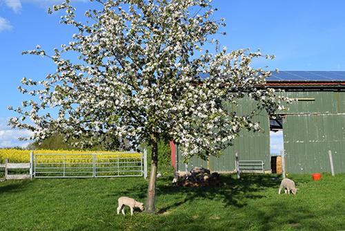 Schafe Apfelbaum